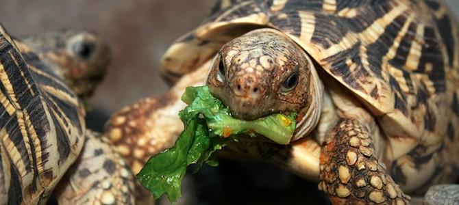 Как кормить черепаху