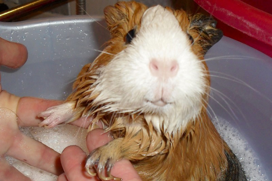 Уход за морских свинок в домашних условиях
