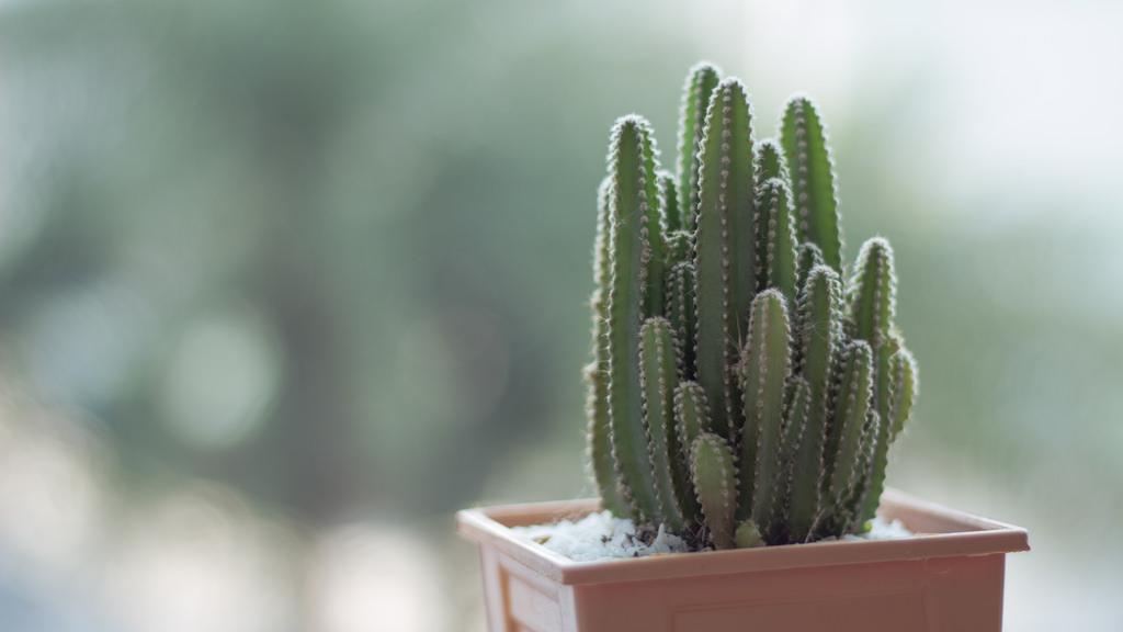 уход за кактусом змой