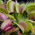 Насекомоядные растения в комнатных условиях
